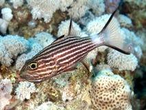 Tiger cardinalfish. In red sea stock photos