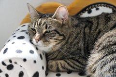 Tiger Cat Fotografía de archivo libre de regalías