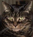 Tiger Cat Stock Afbeelding