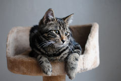 Tiger Cat in Cat Tree. Gray and black striped tiger cat resting in cat tree royalty free stock images