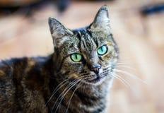 Tiger Cat con gli occhi verdi Fotografia Stock