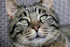 Tiger Cat, Face, Nose, Eyes Royalty Free Stock Image