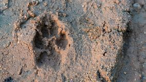 Tiger or cat foot step on mud background. The evidence of animal Royalty Free Stock Images