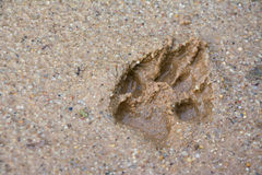 Tiger or Cat foot step on mud Stock Photos