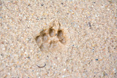 Tiger or Cat foot step on mud Stock Photo