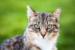 Tiger Cat grazioso immagini stock