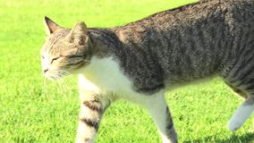 Tiger cat in the green grass. Stray tiger cat walking on the green grass, isolated on background stock footage