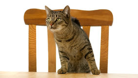 Free Tiger Cat Is Waiting At Table For Food Stock Photo - 22452370