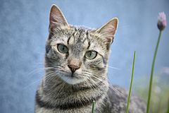 Tiger cat kitty standing looking sweet closeup. Tiger cat kitty with blue eyes standing looking sweet and beautiful soft striped fur closeup royalty free stock photo