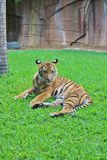 A little tiger rests in the grass stock images