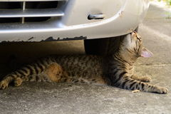 Tiger cat lying under the car and sniffs them Royalty Free Stock Image