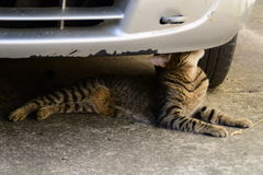 Tiger cat lying under the car and sniffs them Royalty Free Stock Photo