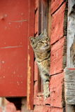 Tiger cat peeking out from ledge of red barn Royalty Free Stock Photo