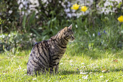 Tiger cat relaxes at the green grass in the sun Stock Images