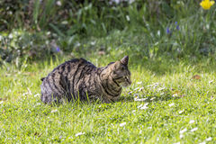 Tiger cat relaxes at the green grass in the sun Royalty Free Stock Image