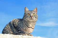 Tiger cat sitting on the wall. Against blue sky royalty free stock image