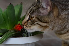 Tiger cat smell, sniff red cactus flower Stock Photo