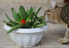 Tiger cat smell, sniff red cactus flower Royalty Free Stock Photos