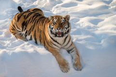 Tiger cat in snow. Siberian tiger laying in winter snow. Mouth open royalty free stock photo