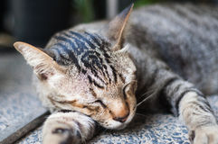 Tiger Cat sta dormendo Fotografia Stock Libera da Diritti