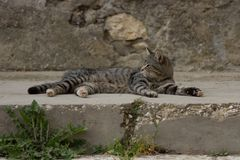Tiger cat in the street royalty free stock images