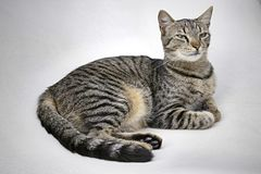 Tiger cat striped fur kitty lying looking proud and sweet. Tiger cat kitty lying striped fur looking proud and sweet and beautiful very soft royalty free stock photography