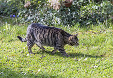 Tiger cat strolls around in the garden under the sun Stock Photography