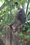 Tiger cat walks on a fence covered with creeper plant. A tiger cat walks on a fence covered with creeper plant Stock Photos