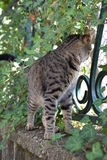 Tiger cat walks on a fence covered with creeper plant. A tiger cat walks on a fence covered with creeper plant Stock Images