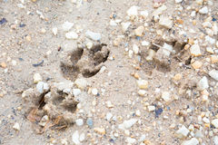 Tiger or Cat foot step on mud Royalty Free Stock Photo