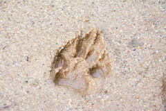 Tiger or Cat foot step on mud Royalty Free Stock Image