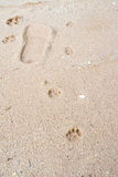 Tiger or Cat foot step on mud Royalty Free Stock Images