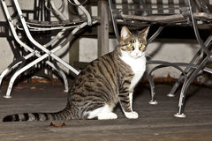 Tiger cat on a wooden balcony Royalty Free Stock Image