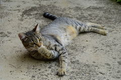 tiger cat with yellow eyes lying on a concrete floor and licking paws, cat on the left side of photo Royalty Free Stock Photography