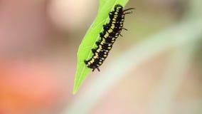 Tiger Caterpillar Or Danaus Genutia comum Caterpillar que move sobre as folhas filme