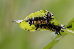 Tiger Caterpillars photographie stock