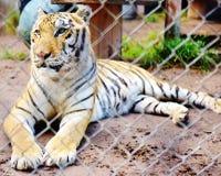 Tiger catty shack  wildlife sanctuary florida usa Royalty Free Stock Photography