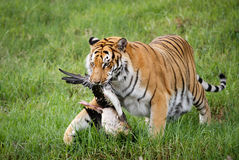 Tiger Caught a Goose Stock Image