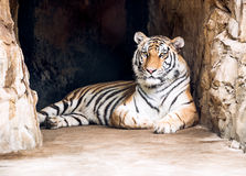 Tiger in cave Royalty Free Stock Photo