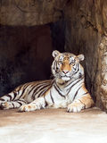 Tiger in cave Stock Photography