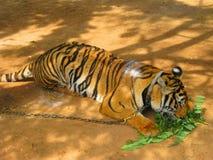 Tiger Chained till halssammanträdet i en zoo fotografering för bildbyråer
