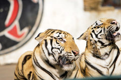 Tiger of circus. The tiger of circus in a zoo Royalty Free Stock Photography