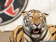 Tiger of circus. The tiger of circus in a zoo Stock Photos