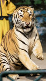 Tiger of circus. The tiger of circus in a zoo Royalty Free Stock Images