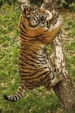 Tiger is clambing  a tree. The tiger of Sumatra the big, predatory, stripey cat with meat in the zoological garden at Duisburg in Germany on a tree Royalty Free Stock Photos