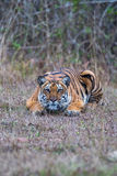 Tiger in classic cat style Royalty Free Stock Photos