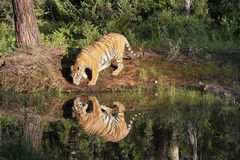 Tiger with Clear Reflection in River Royalty Free Stock Images
