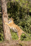 Tiger Climbing Tree Stock Foto