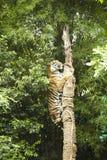 Tiger climbing tree Stock Images