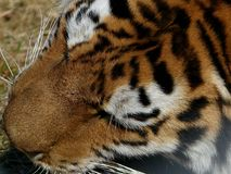 Tiger close in on head whilst eating royalty free stock photo